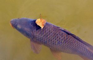 eviter de pecher le poissons chat lors de la peche à la carpe